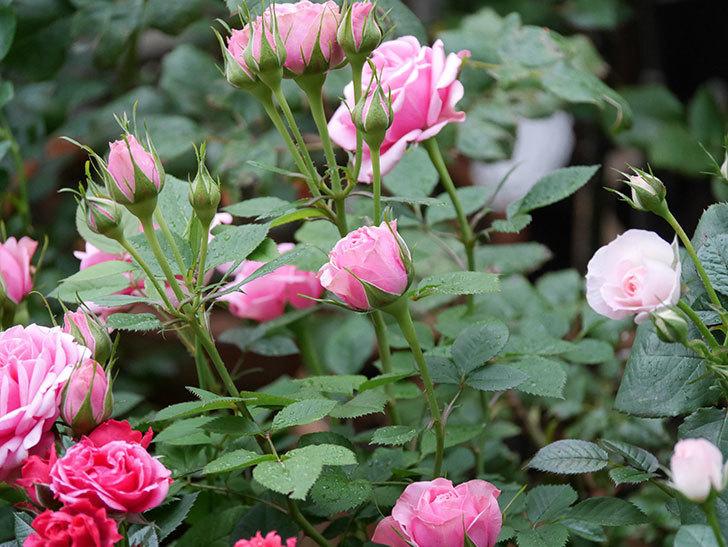ニューヨーク・フォーエバー(ミニバラ)の花が綺麗に咲いた。2020年-04.jpg