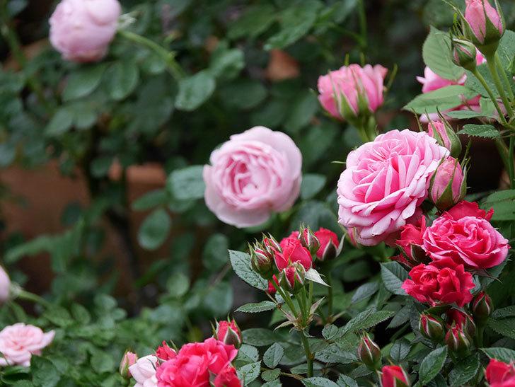 ニューヨーク・フォーエバー(ミニバラ)の花が綺麗に咲いた。2020年-05.jpg