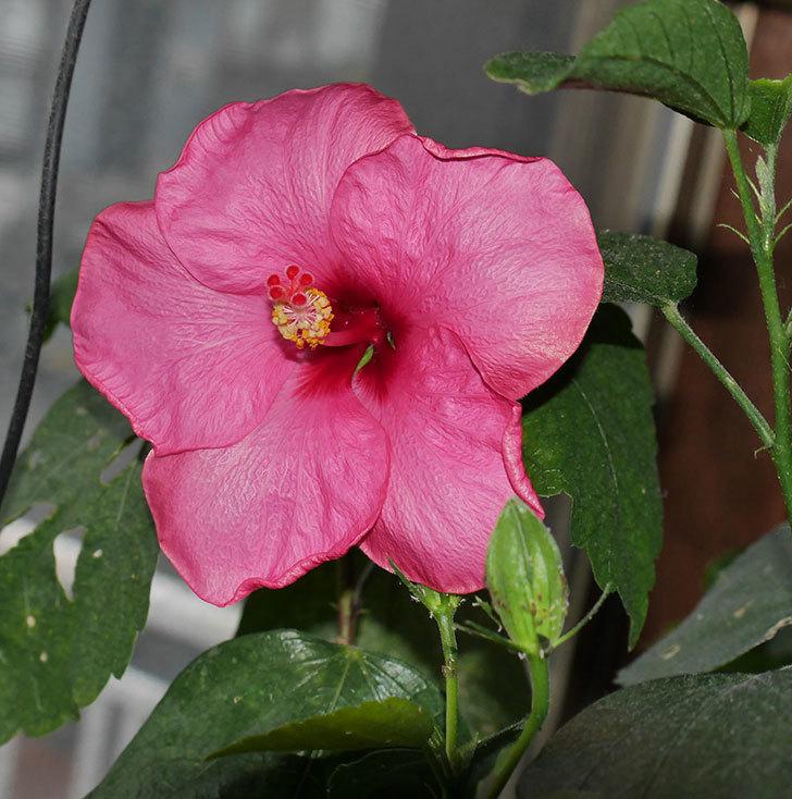 ニューロングライフ・シリーズ-アドニスの花が1個咲いた。2020年-1.jpg