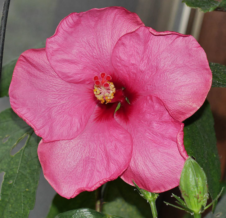 ニューロングライフ・シリーズ-アドニスの花が1個咲いた。2020年-2.jpg