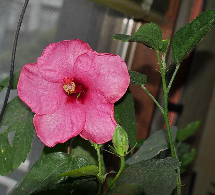 ニューロングライフ・シリーズ-アドニスの花が1個咲いた。2020年-3.jpg