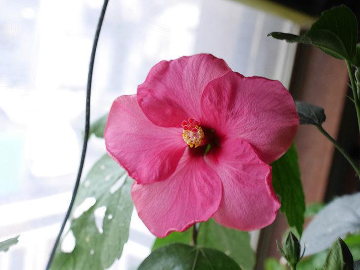ニューロングライフ・シリーズ-アドニスの花が1個咲いた。2020年-4.jpg