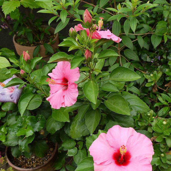ニューロングライフ・シリーズ-アドニスの花がまた3個咲いた。2016年-1.jpg