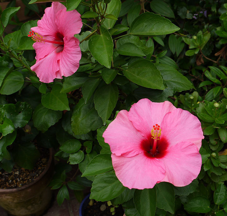 ニューロングライフ・シリーズ-アドニスの花がまた3個咲いた。2016年-2.jpg