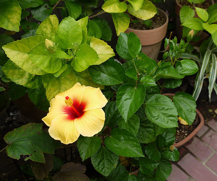 ニューロングライフ・シリーズ-アドニスの花がまた3個咲いた。2016年-8.jpg