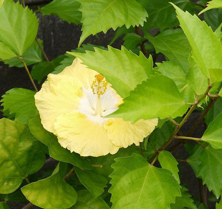 ニューロングライフ・シリーズ-アドニスの花がまた3個咲いた。2016年-9.jpg