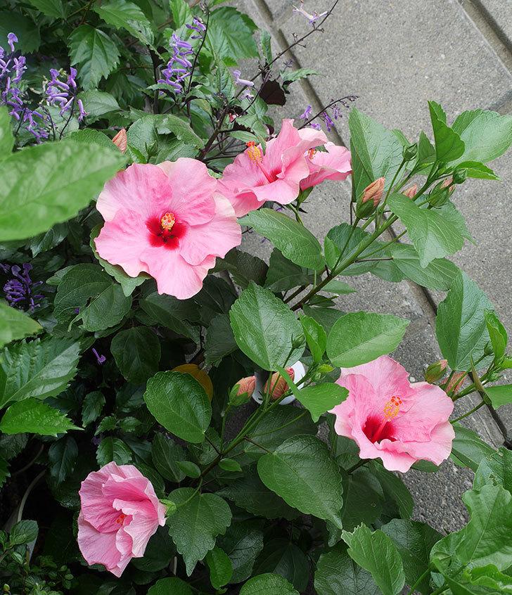 ニューロングライフ・シリーズ-アドニス花がたくさん咲いた。2019年-1.jpg