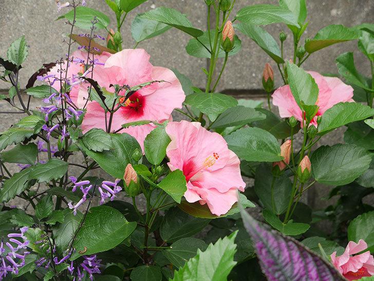 ニューロングライフ・シリーズ-アドニス花がたくさん咲いた。2019年-2.jpg