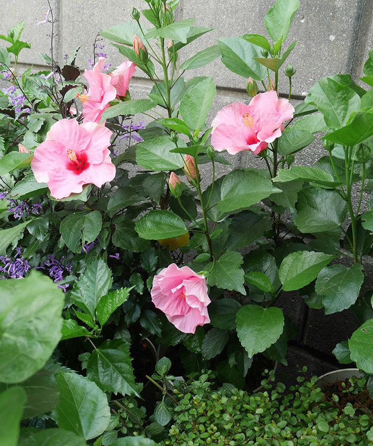 ニューロングライフ・シリーズ-アドニス花がたくさん咲いた。2019年-3.jpg