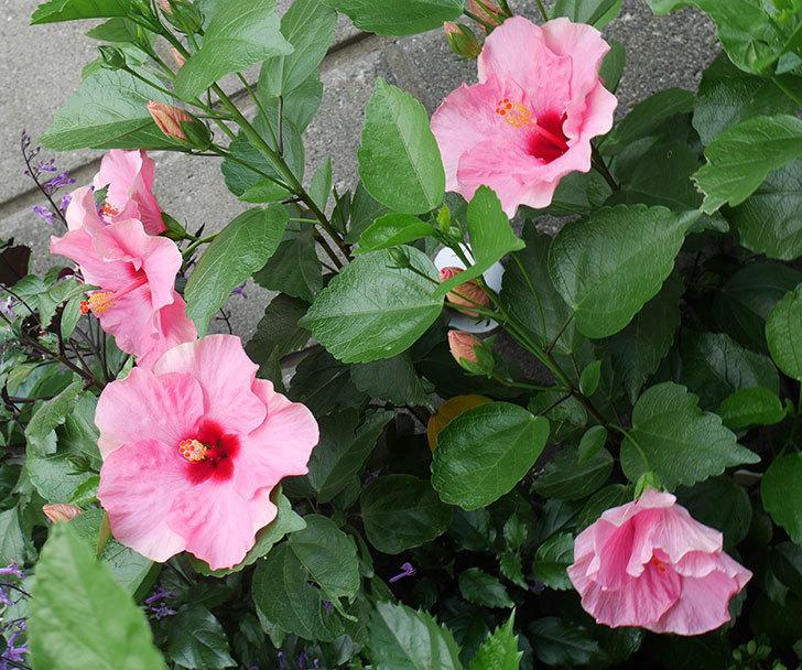 ニューロングライフ・シリーズ-アドニス花がたくさん咲いた。2019年-4.jpg