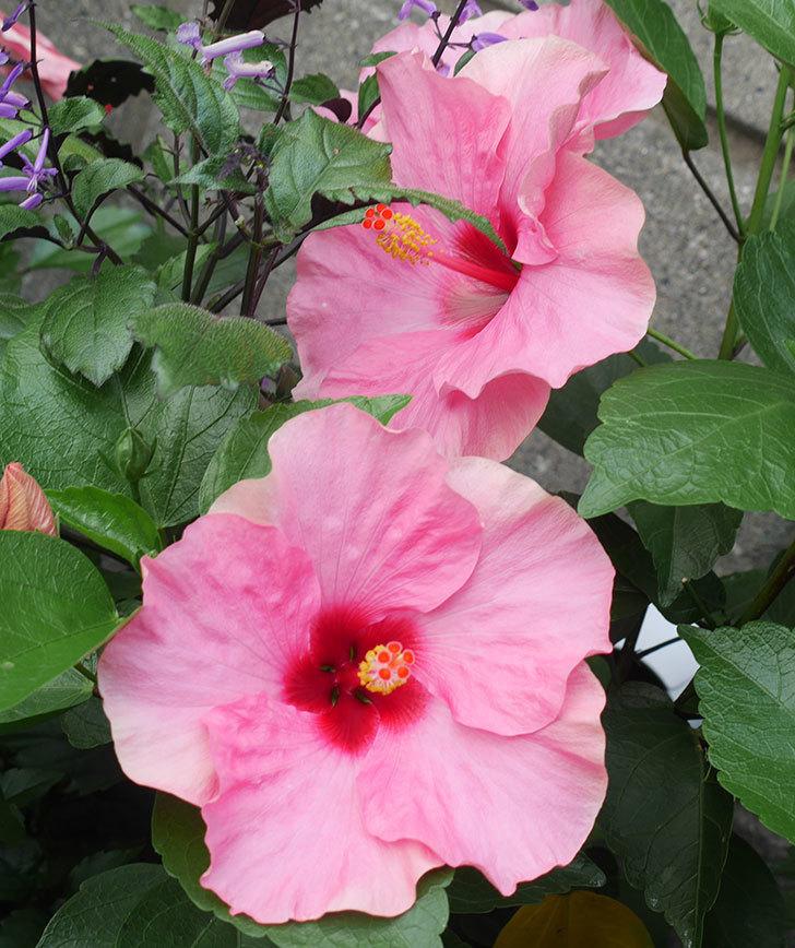 ニューロングライフ・シリーズ-アドニス花がたくさん咲いた。2019年-5.jpg