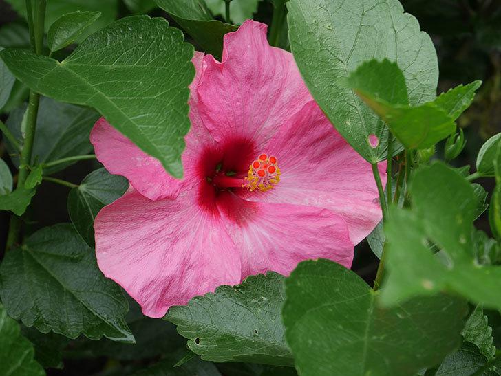 ニューロングライフ・シリーズ アドニスの花が2個一緒に咲いた。2020年-008.jpg