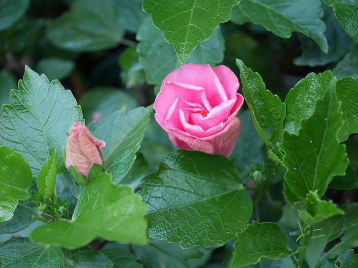 ニューロングライフ・シリーズ アドニスの花が2個咲いた。2020年-001.jpg