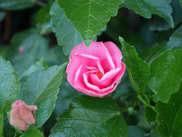 ニューロングライフ・シリーズ アドニスの花が2個咲いた。2020年-002.jpg