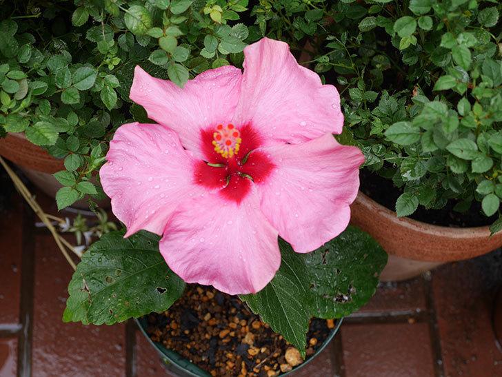 ニューロングライフ・シリーズ アドニスの花が2個咲いた。2020年-005.jpg