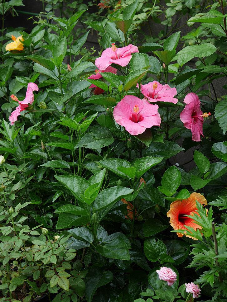 ニューロングライフ・シリーズ アドニスの花がいっぱい咲いた。2020年-001.jpg