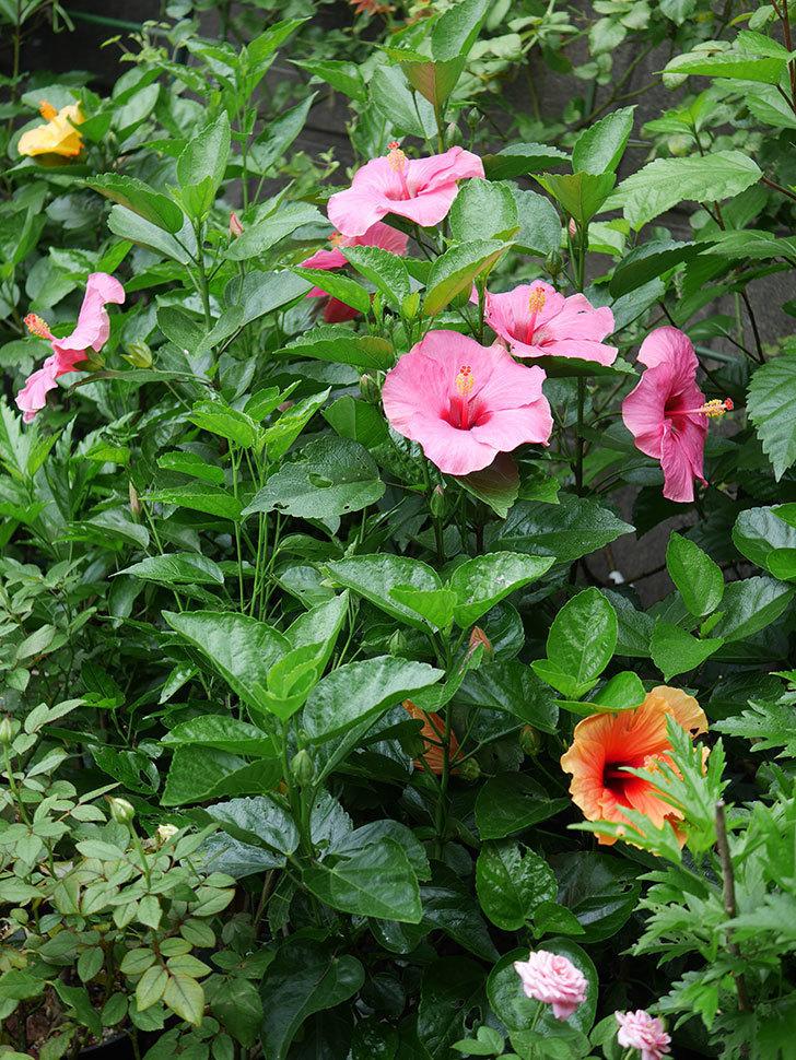 ニューロングライフ・シリーズ アドニスの花がいっぱい咲いた。2020年-002.jpg