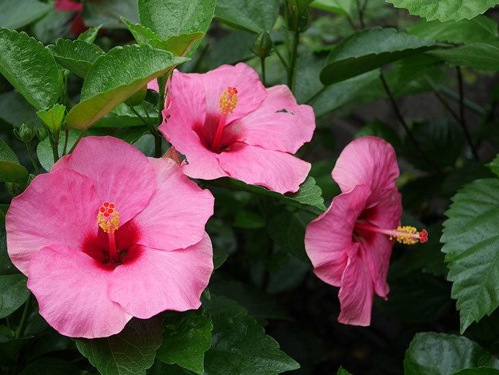 ニューロングライフ・シリーズ アドニスの花がいっぱい咲いた。2020年-005.jpg