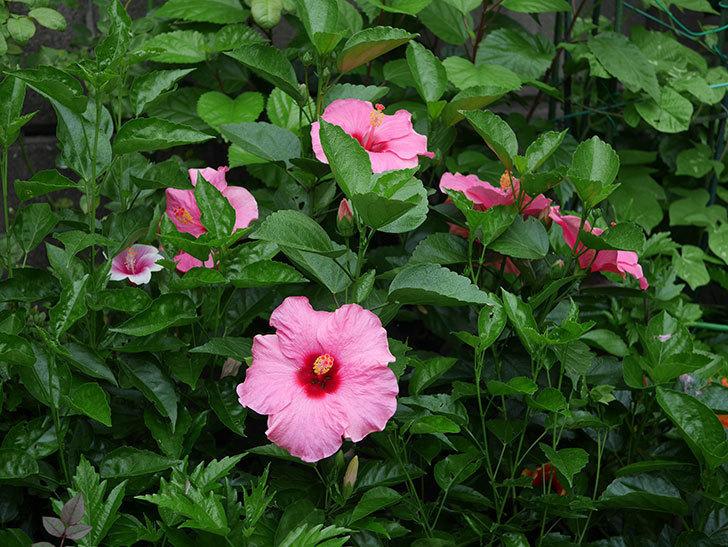 ニューロングライフ・シリーズ アドニスの花がいっぱい咲いた。2020年-006.jpg