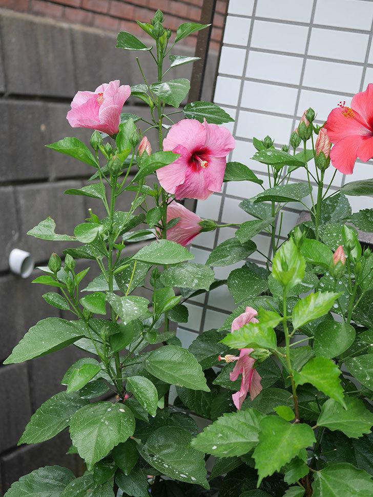 ニューロングライフ・シリーズ アドニスの花がまた増えてきた。2020年-001.jpg