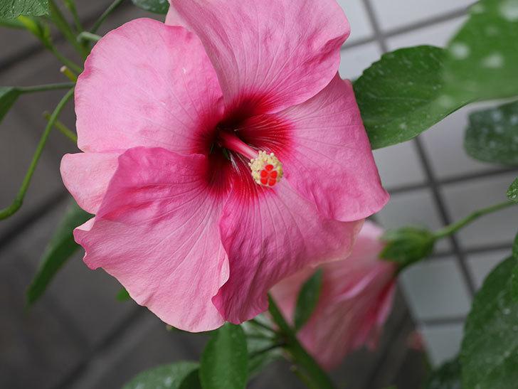 ニューロングライフ・シリーズ アドニスの花がまた増えてきた。2020年-004.jpg