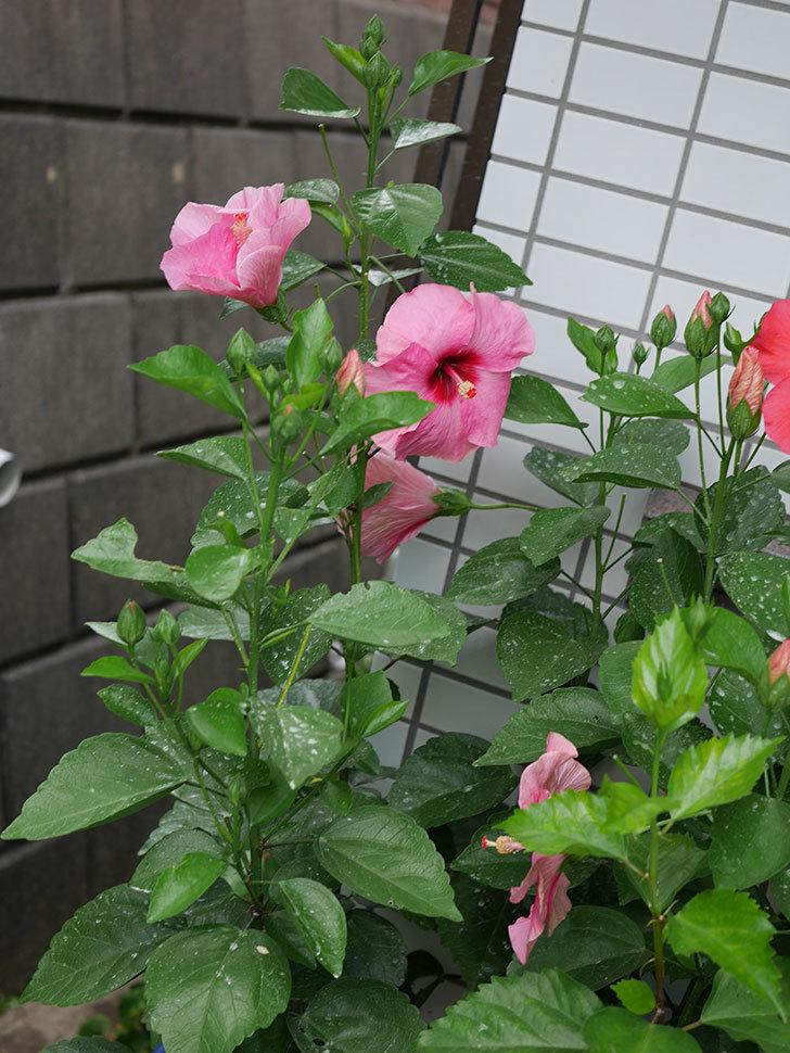 ニューロングライフ・シリーズ アドニスの花がまた増えてきた。2020年-008.jpg
