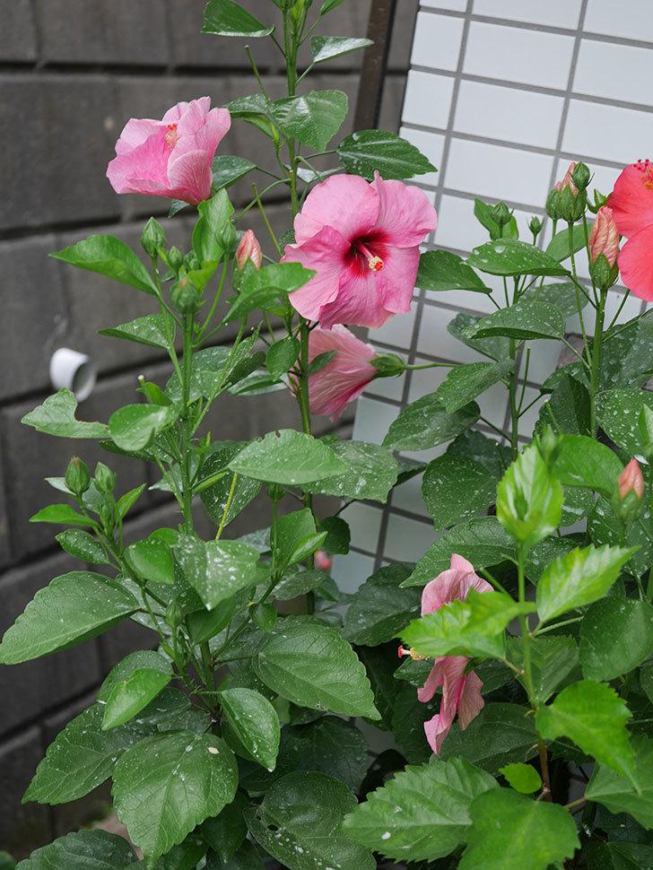ニューロングライフ・シリーズ アドニスの花がまた増えてきた。2020年-009.jpg