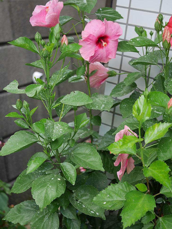 ニューロングライフ・シリーズ アドニスの花がまた増えてきた。2020年-010.jpg