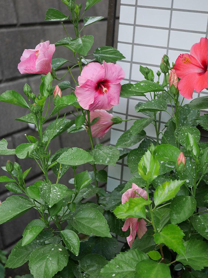 ニューロングライフ・シリーズ アドニスの花がまた増えてきた。2020年-011.jpg