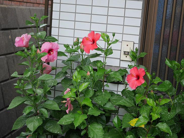 ニューロングライフ・シリーズ アドニスの花がまた増えてきた。2020年-012.jpg