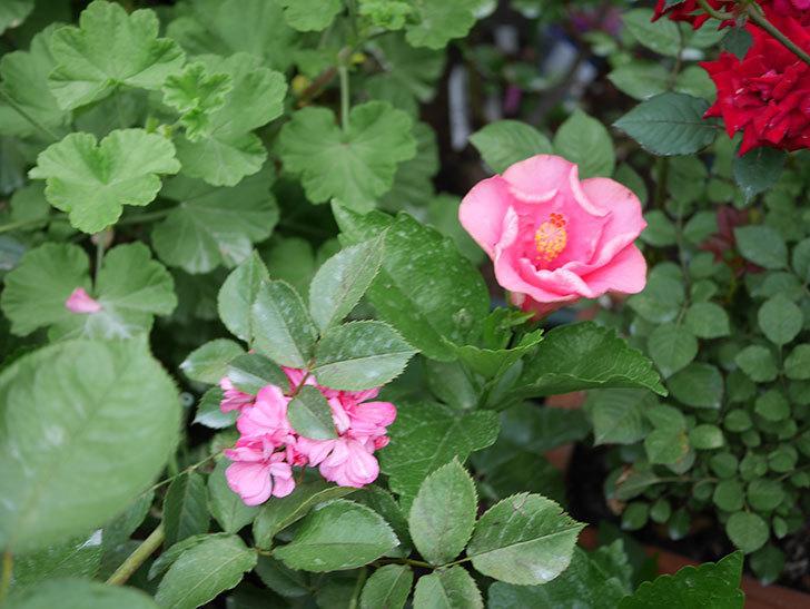 ニューロングライフ・シリーズ アドニスの花が咲いた。2020年-005.jpg