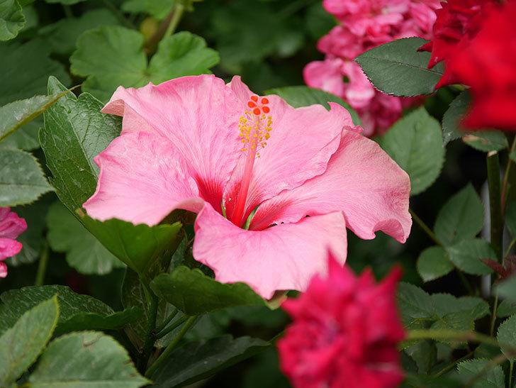 ニューロングライフ・シリーズ アドニスの花が咲いた。2020年-006.jpg