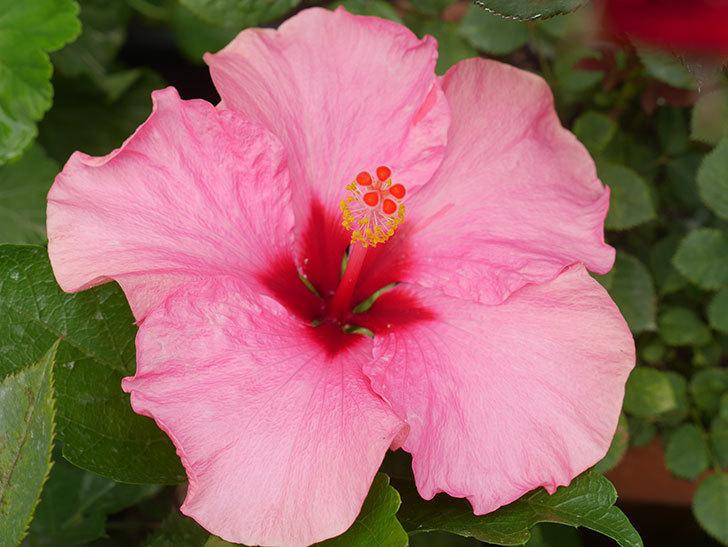 ニューロングライフ・シリーズ アドニスの花が咲いた。2020年-013.jpg