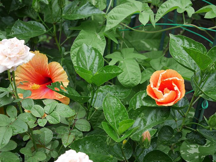 ニューロングライフ・シリーズ Newアポロに大きい花が2個咲いた。2020年-001.jpg