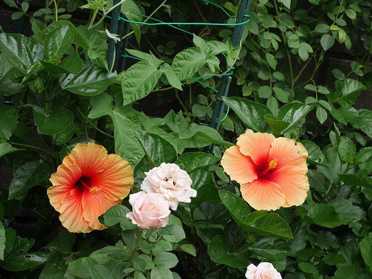 ニューロングライフ・シリーズ Newアポロに大きい花が2個咲いた。2020年-013.jpg