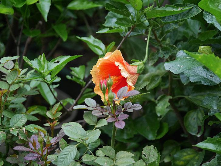 ニューロングライフ・シリーズ Newアポロの花が今日も咲いた。2020年-005.jpg