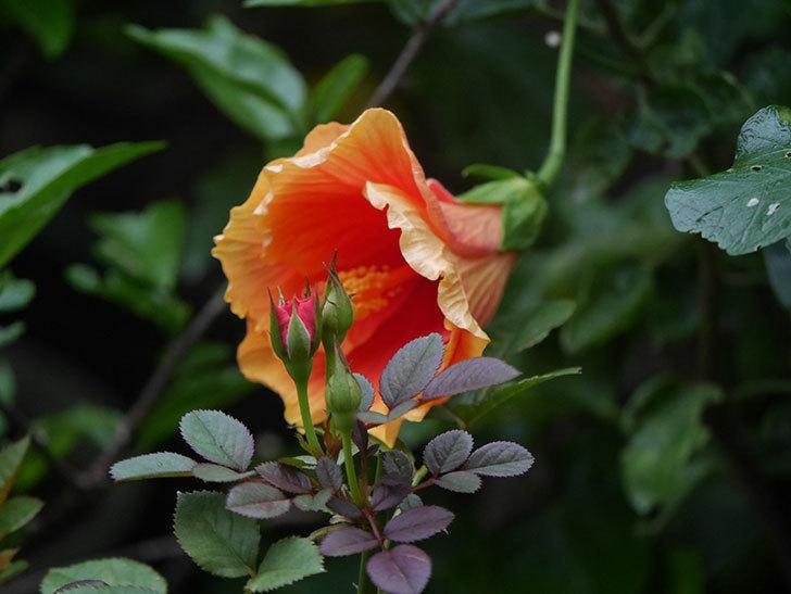 ニューロングライフ・シリーズ Newアポロの花が今日も咲いた。2020年-006.jpg