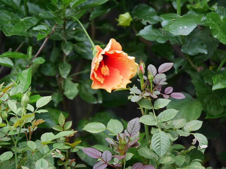 ニューロングライフ・シリーズ Newアポロの花が今日も咲いた。2020年-007.jpg