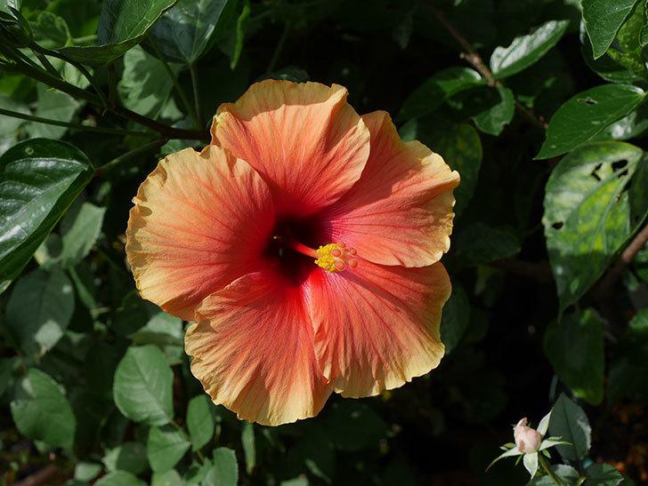 ニューロングライフ・シリーズ Newアポロの花が綺麗に咲いた。2020年-005.jpg