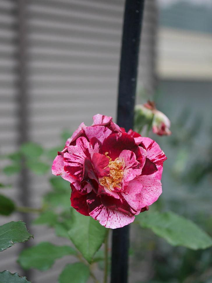 ニュー・イマジン(New Imagine)の2番花がまた1個咲いた。半ツルバラ。2020年-001.jpg
