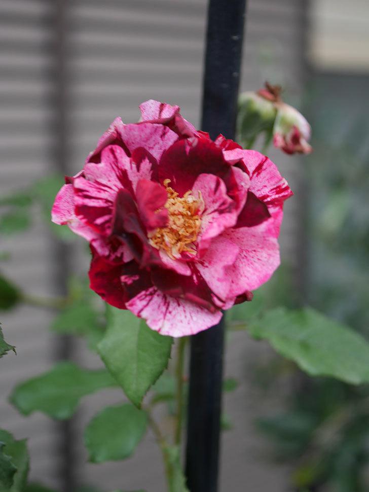 ニュー・イマジン(New Imagine)の2番花がまた1個咲いた。半ツルバラ。2020年-002.jpg