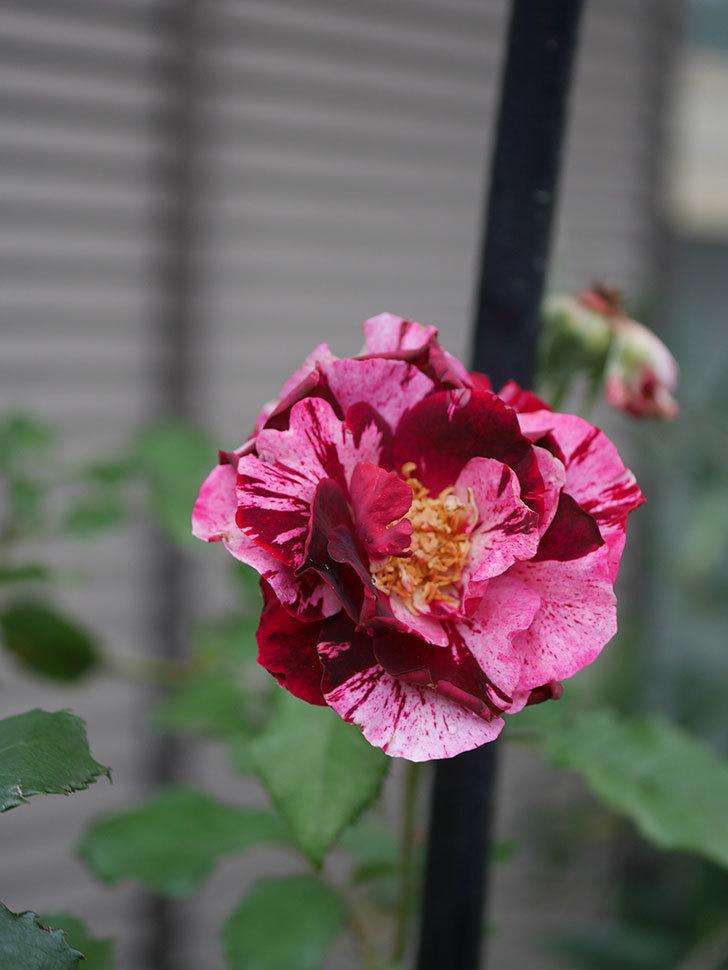 ニュー・イマジン(New Imagine)の2番花がまた1個咲いた。半ツルバラ。2020年-003.jpg