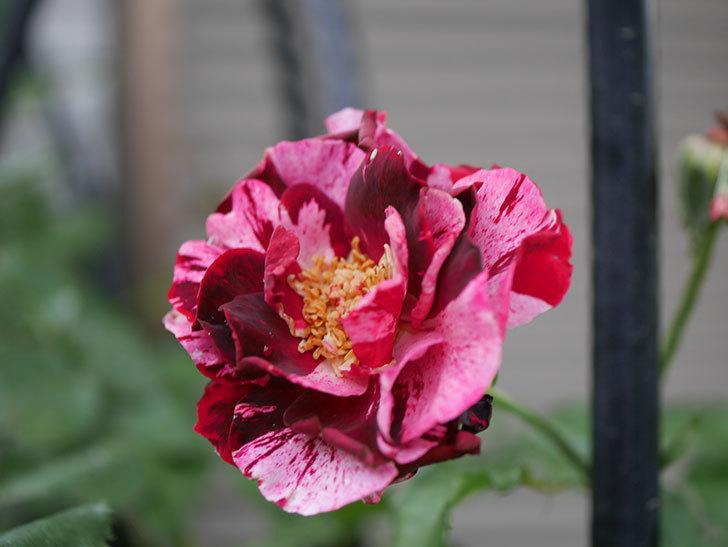 ニュー・イマジン(New Imagine)の2番花がまた1個咲いた。半ツルバラ。2020年-004.jpg