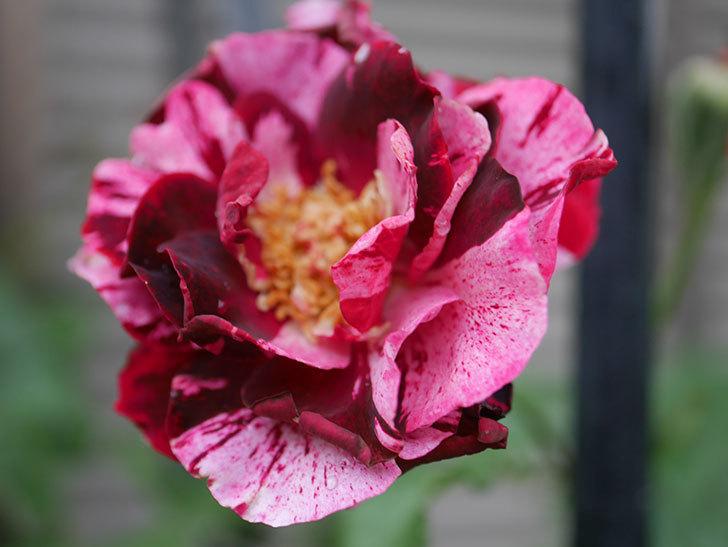 ニュー・イマジン(New Imagine)の2番花がまた1個咲いた。半ツルバラ。2020年-006.jpg
