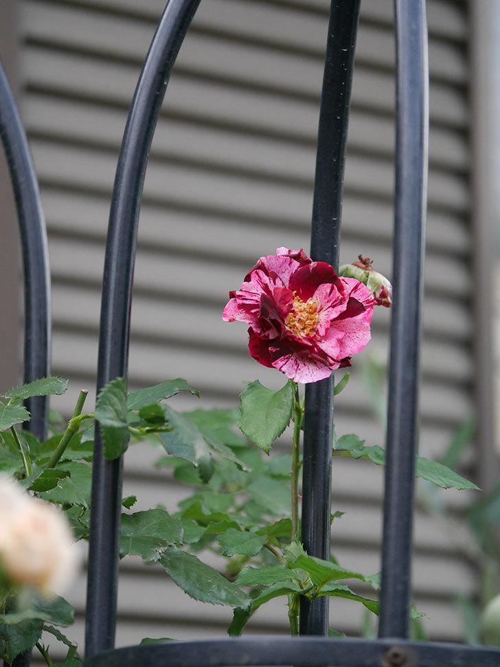 ニュー・イマジン(New Imagine)の2番花がまた1個咲いた。半ツルバラ。2020年-007.jpg