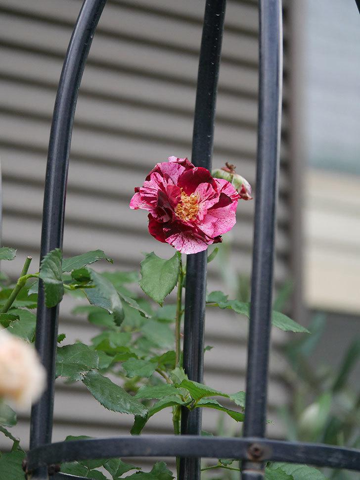 ニュー・イマジン(New Imagine)の2番花がまた1個咲いた。半ツルバラ。2020年-008.jpg