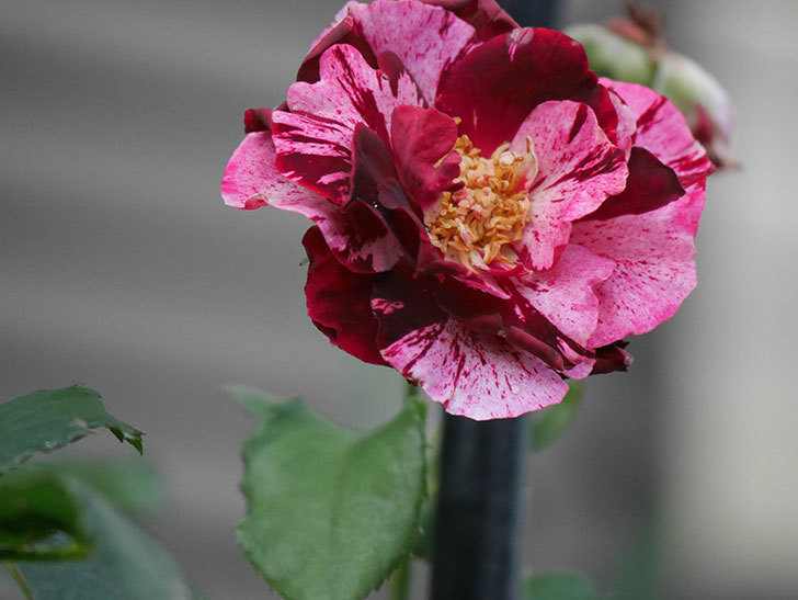 ニュー・イマジン(New Imagine)の2番花がまた1個咲いた。半ツルバラ。2020年-009.jpg