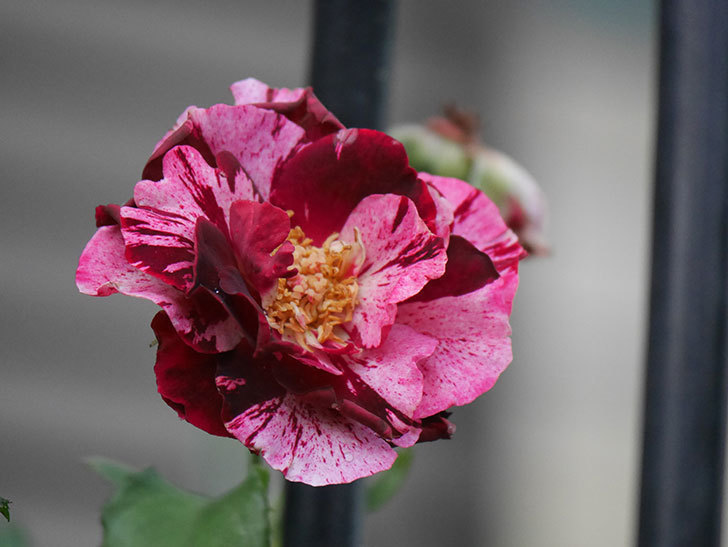 ニュー・イマジン(New Imagine)の2番花がまた1個咲いた。半ツルバラ。2020年-010.jpg