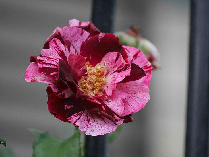 ニュー・イマジン(New Imagine)の2番花がまた1個咲いた。半ツルバラ。2020年-011.jpg