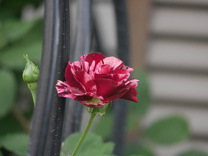 ニュー・イマジン(New Imagine)の2番花がまた咲いた。半ツルバラ。2020年-003.jpg